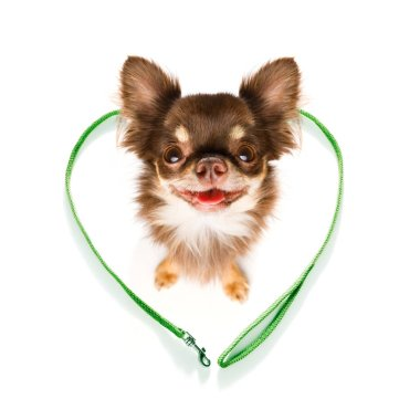 chihuahua dog looking up to owner waiting or sitting patient to play or go for a walk,in love with heart shape leash, isolated on white background