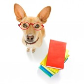 chihuahua dog on  a tall stack of books ,very smart and clever , isolated on white background
