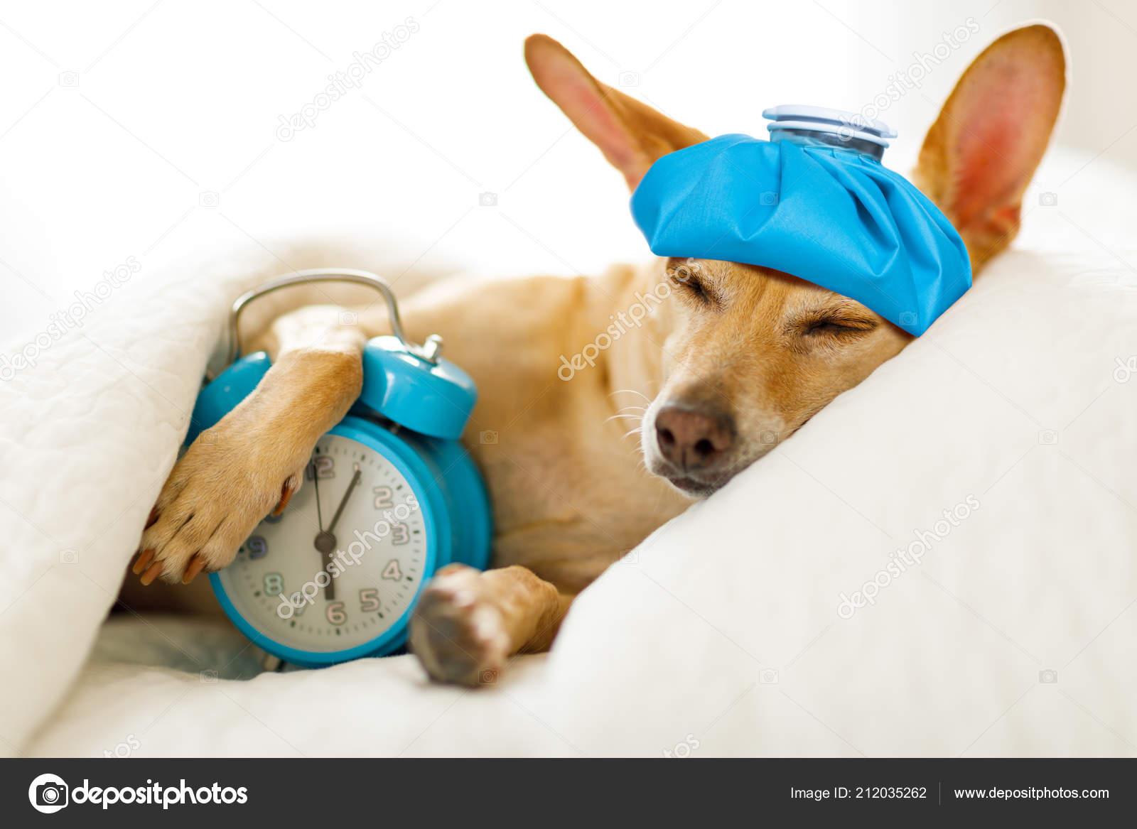 Chihuahua Hund Bett Ruhen Oder Schlafen Mit Wecker Gefühl Krank