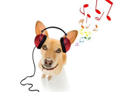 cool dj  chihuahua podenco dog listening or singing to music  with headphones and mp3 player,   isolated on white background