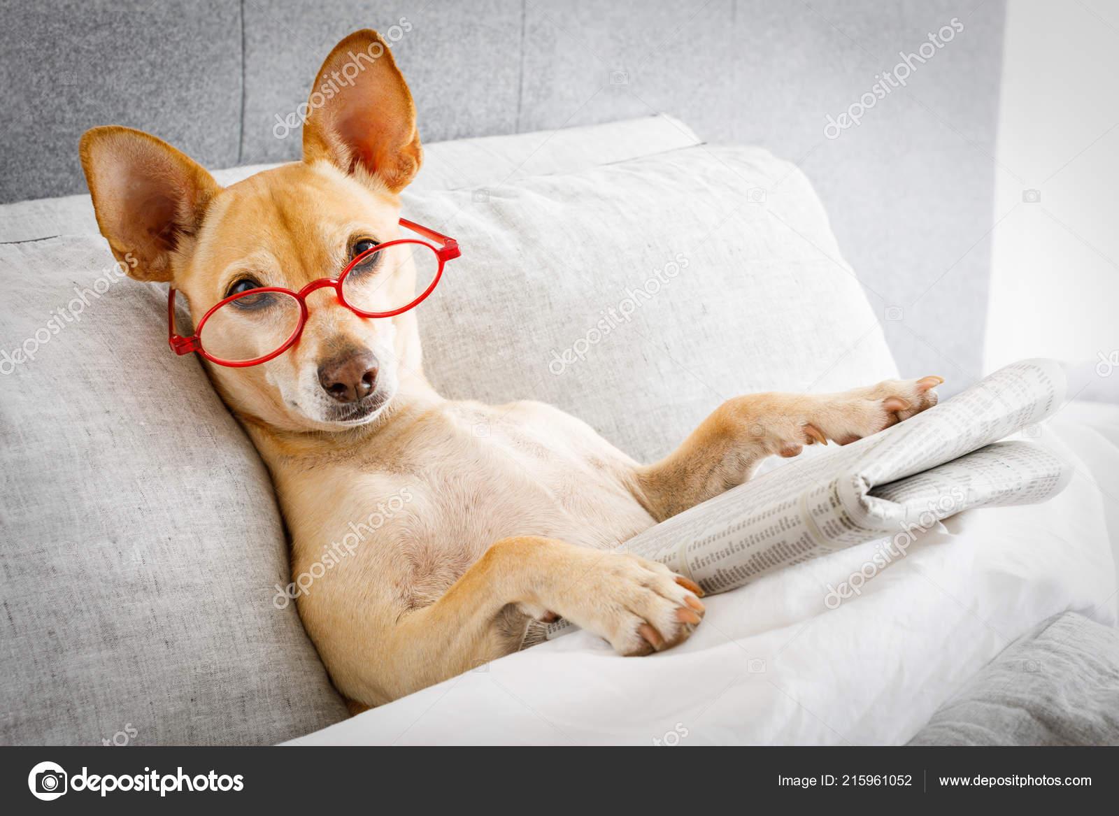 Hund Bett Ausruhen Und Lesen Zeitung Schlafzimmer Unter Der ...