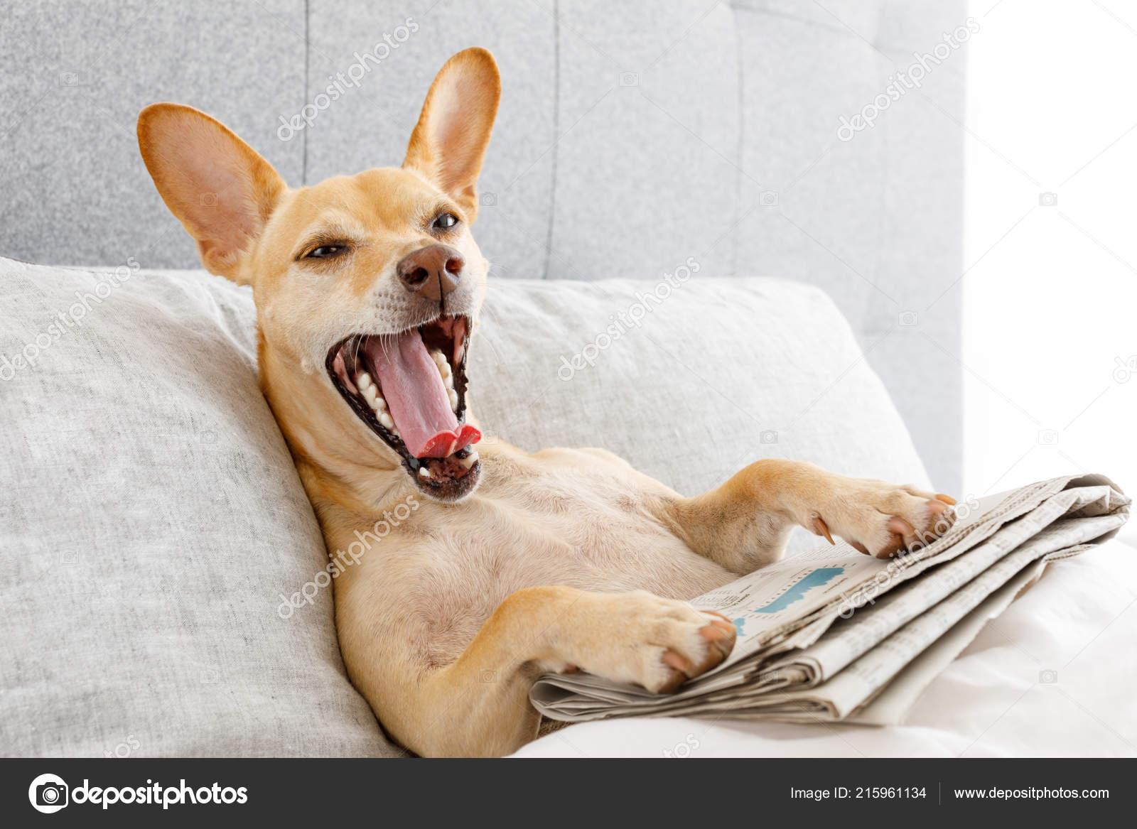 Hund Bett Ruhen Und Gähnen Mit Zeitung Träumen Schlafzimmer Unter