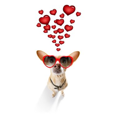 Chihuahua dog  in love for valentines or birthday  , isolated on white background stock vector