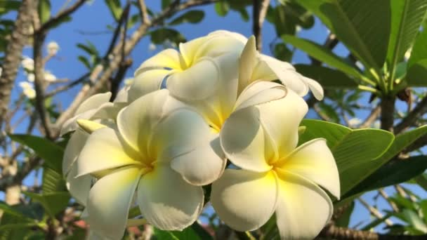 Tree Beautiful White Plumeria Rubra Flowers Wind Sri Lanka Stock