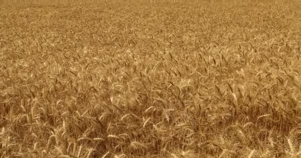 Wheat fields in India