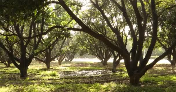 Mango stromy v zahradě