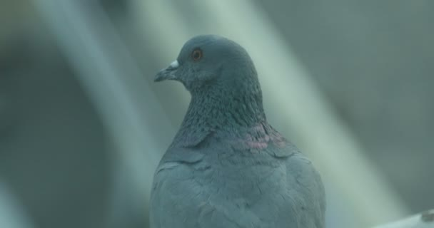 Close up of the Pigeon