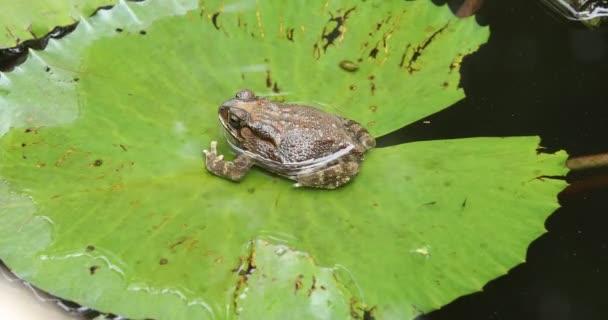 žába na lotosovém listu