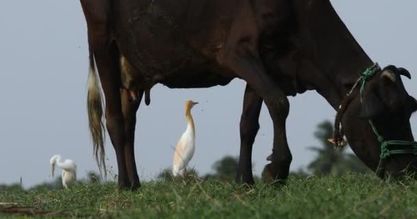 Kráva stravování v polích