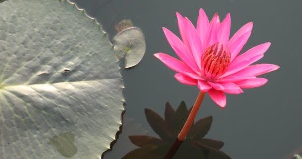 Lótusz virágos tó Kerala India