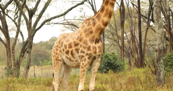 Žiraffe v divoké přírodě Masai Mara Kenya Afrika