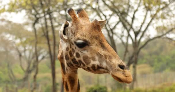 Zsiráf a vadon élő állatok Masai Mara Kenya Afrika
