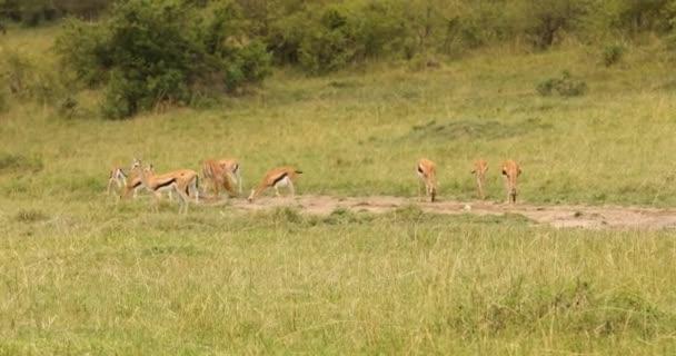 Szarvas etetés a legelőn Kenya Afrika