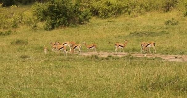 Deer Feeding In The Grassland Kenya Africa