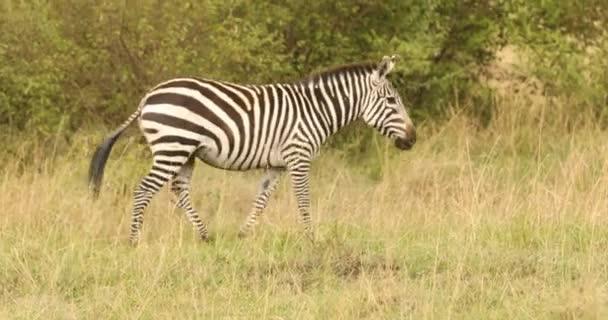 Zebra Táplálkozás a legelőn Kenya Afrika