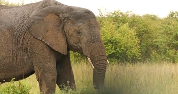 Slon krmení v trávě Keňa Afrika