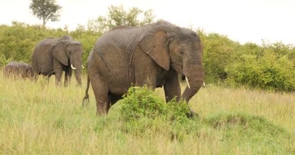 Elefánttáplálkozás a legelőn Kenya Afrika