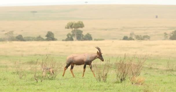 Vodní buck Masai Mara Kenya Afrika