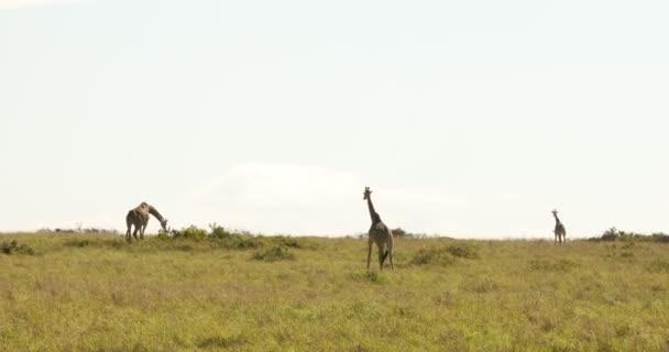 Zsiráf a vadonban Masai Mara Kenya Afrika