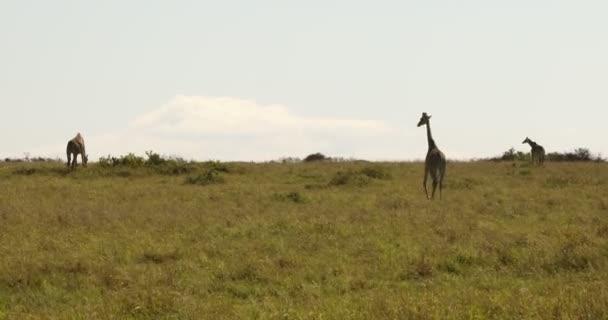 Giraffe In Wildlife Masai Mara Kenya Africa