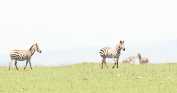 Zebra Feeding In The Grassland Kenya Africa