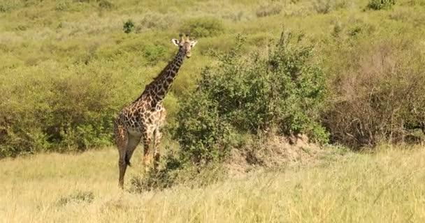 Žirafa ve volné přírodě Masai Mara Keňa Afrika