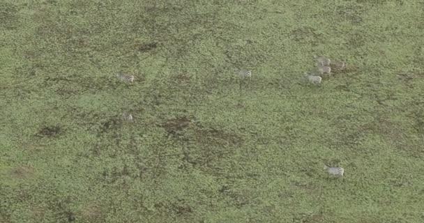 Veduta aerea zebre alimentazione in Erba Kenya Africa
