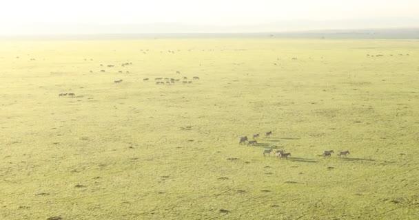 Légifotó zebrák etetés a gyepterület Kenya Afrika