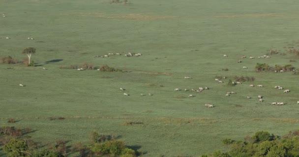 Aerial view Zebras Feeding In The Grassland Kenya Africa
