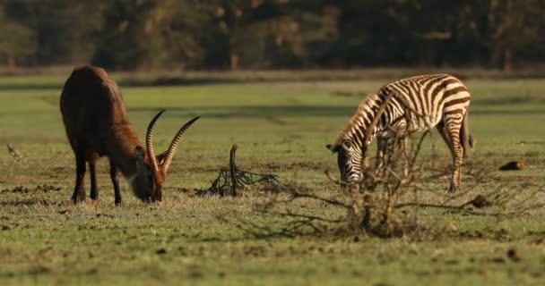 Water buck Masai Mara Kenya Africa