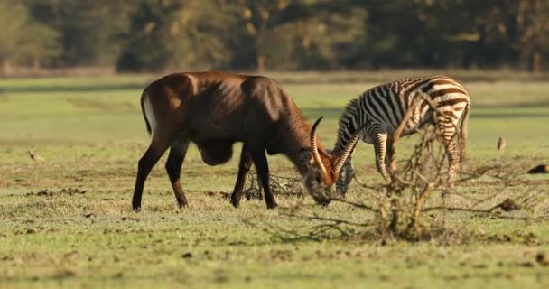 Vodní dolar Masai Mara Kenya Afrika