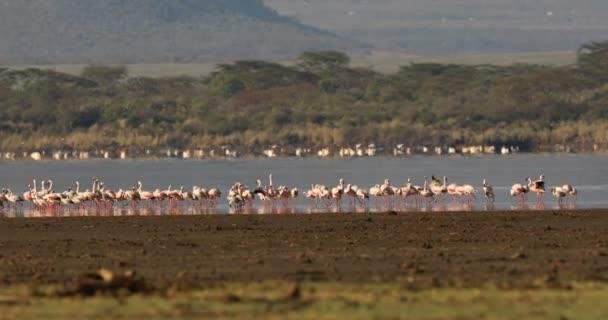 Flamingo madarak a tó Kenya-Afrika