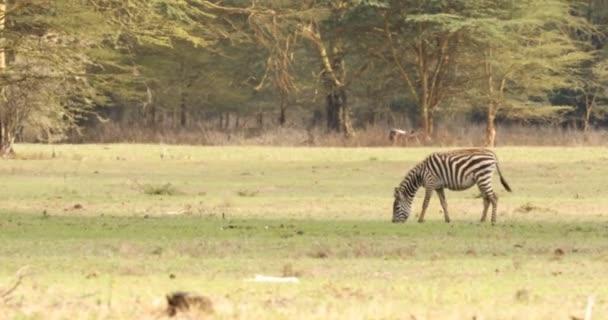 Zebra Krmení v trávě Keňa Afrika