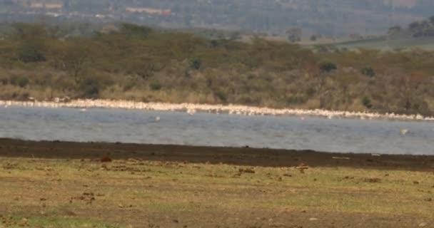 Flamingo ptáci na jezeře v Keni, Afrika