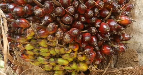 Palm Oil Fruit Tree In India