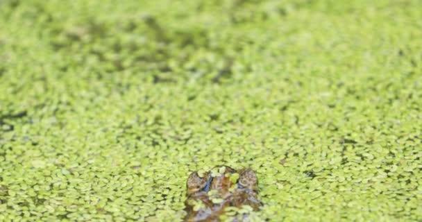Žába ve vodě z rybníka