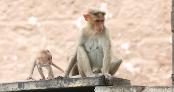 Monkey with Baby on the Temple wall