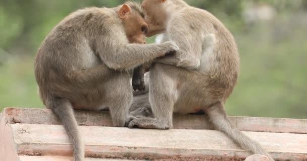 Majom lovászok egy másik majom