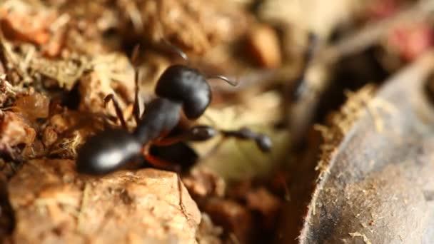 Fekete hangyák építenek otthont száraz, sivatagi talajban.