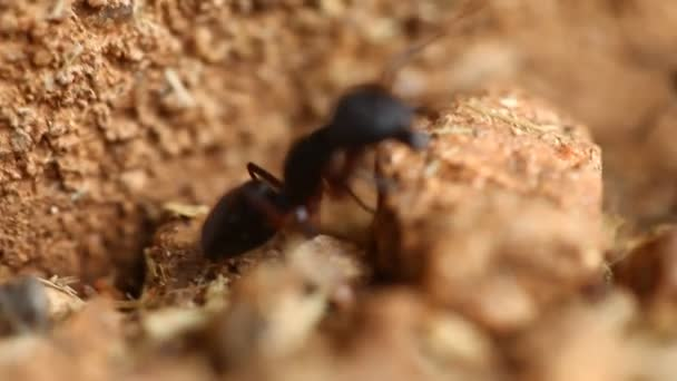 Black ants build home in dry, desert soil.