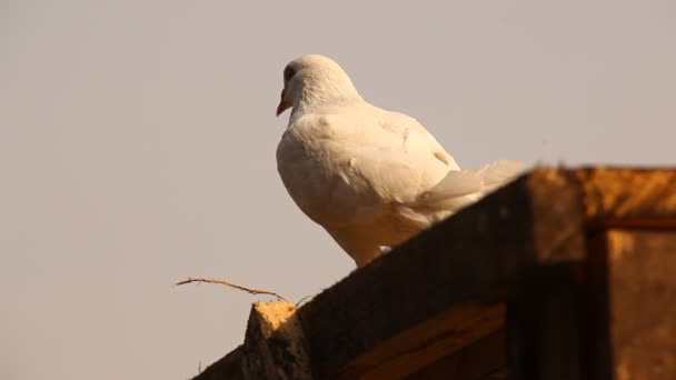 Pigeon at vintage Temple wall