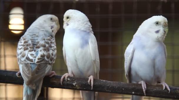 Ptačí papoušek zavřít