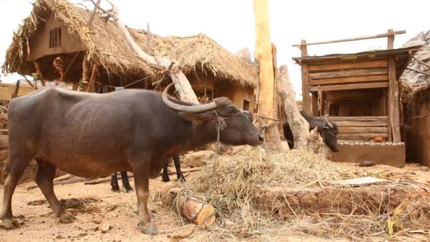 Buffalo Farm auf dem Land