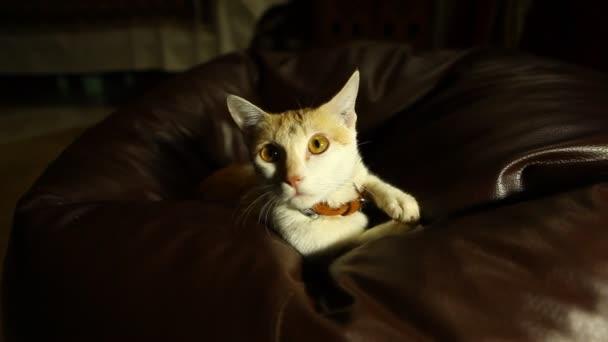 Closeup of a Brown Cat