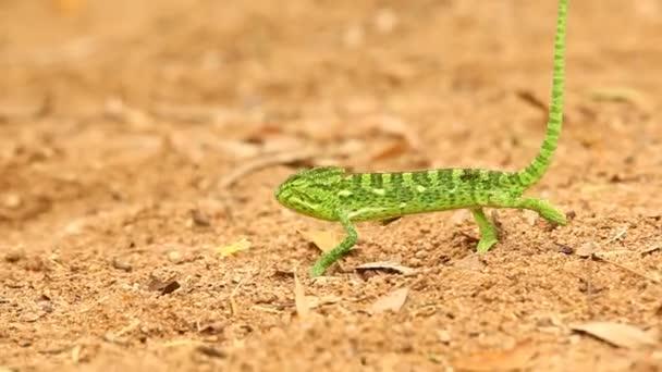 Chameleon na cestě
