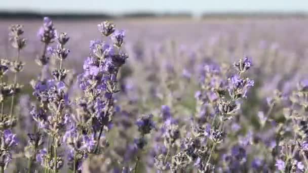 Ohromující krajina s levandulovým polem