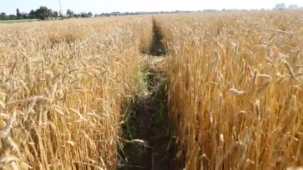 Wheat fields in Bulgaria