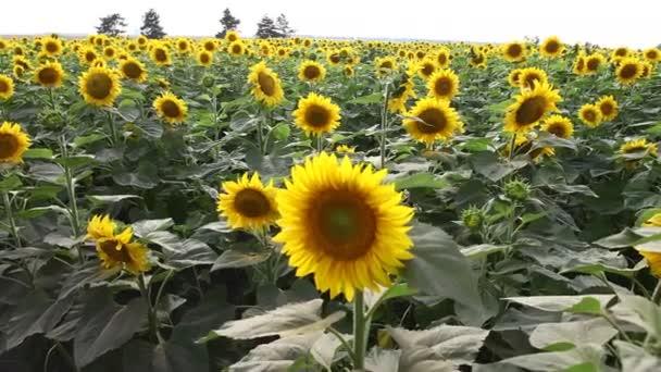 Sluneční pole na venkově