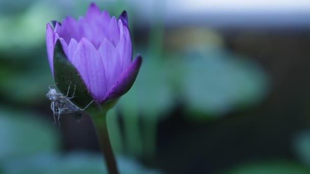 Lotus Květiny ve vodě