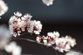 Kvetoucí meruňkové closeup na jaře